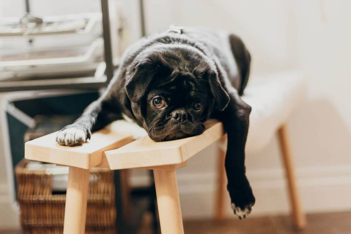 bored french bulldog